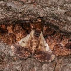 Cryphaea xylina (Woodland Geometrid) at Melba, ACT - 15 Nov 2020 by kasiaaus