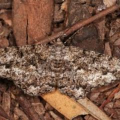 Unplaced externaria (Mahogany Bark Moth) at Melba, ACT - 15 Nov 2020 by kasiaaus
