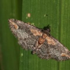 Chloroclystis filata (Filata Moth, Australian Pug Moth) at Melba, ACT - 15 Nov 2020 by kasiaaus