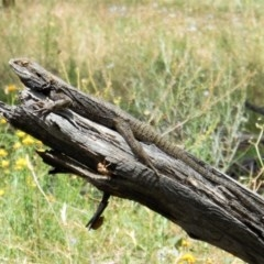 Pogona barbata (Eastern Bearded Dragon) at Hughes Grassy Woodland - 10 Dec 2020 by JackyF