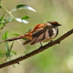 Rhipidura rufifrons (Rufous Fantail) at Tidbinbilla Nature Reserve - 8 Dec 2020 by RodDeb