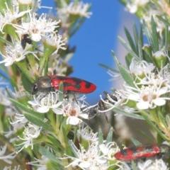 Castiarina indistincta (Jewel Beetle) at Black Mountain - 8 Dec 2020 by Harrisi