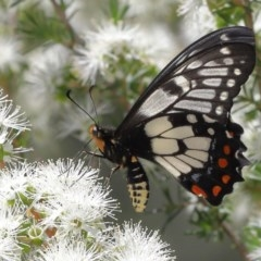 Papilio anactus (Dainty Swallowtail) at ANBG - 4 Dec 2020 by TimL