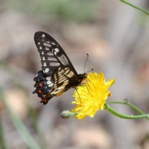 Papilio anactus at Acton, ACT - 6 Dec 2020