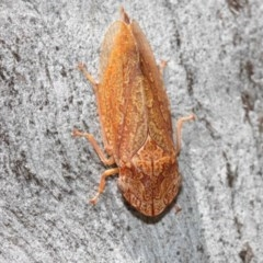 Stenocotis depressa (Gum bark leafhopper) at ANBG - 8 Dec 2020 by TimL