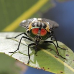 Scaptia sp. (genus) (March fly) at ANBG - 4 Dec 2020 by TimL