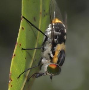 Scaptia sp. (genus) at ANBG - 4 Dec 2020