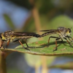 Zosteria rosevillensis (A robber fly) at ANBG - 4 Dec 2020 by TimL
