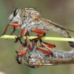 Zosteria sp. (genus) at ANBG - 8 Dec 2020