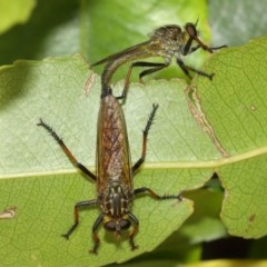 Zosteria rosevillensis (A robber fly) at ANBG - 8 Dec 2020 by TimL