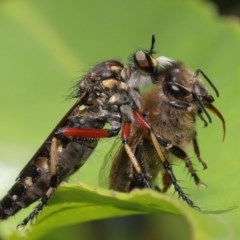 Thereutria amaraca (Spine-legged Robber Fly) at ANBG - 4 Dec 2020 by TimL