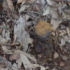 Pisolithus sp. at Wamboin, NSW - 16 Oct 2020 by natureguy