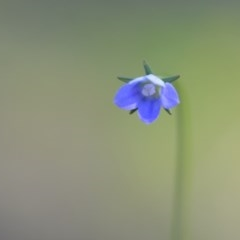 Wahlenbergia multicaulis (Tadgell's Bluebell) at Wamboin, NSW - 17 Oct 2020 by natureguy
