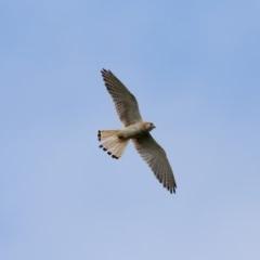 Falco cenchroides (Nankeen Kestrel) at Exeter - 11 Dec 2020 by Snowflake