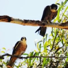 Falco longipennis (Australian Hobby) at Kambah, ACT - 11 Dec 2020 by HelenCross