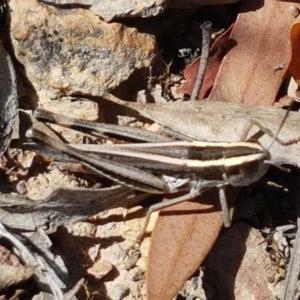 Apotropis tricarinata at Black Mountain - 11 Dec 2020