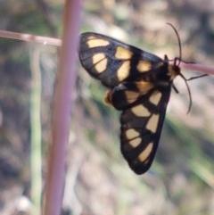 Amata (genus) (Handmaiden) at Black Mountain - 11 Dec 2020 by tpreston