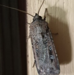 Agrotis infusa (Bogong Moth, Common Cutworm) at Cook, ACT - 7 Dec 2020 by drakes