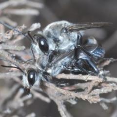 Sphex sp. (genus) (Unidentified Sphex digger wasp) at Denman Prospect, ACT - 10 Dec 2020 by Harrisi