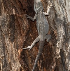 Pogona barbata (Eastern Bearded Dragon) at Mount Painter - 10 Dec 2020 by Roger
