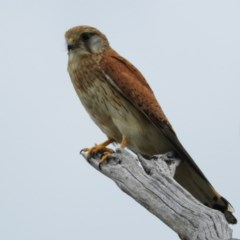 Falco cenchroides (Nankeen Kestrel) at Mount Taylor - 10 Dec 2020 by MatthewFrawley