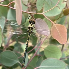 Hemicordulia tau at Jerrabomberra Wetlands - 12 Dec 2020