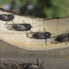 Psaltoda moerens (Redeye Cicada) at Woodstock Nature Reserve - 10 Dec 2020 by Christine