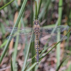 Hemicordulia tau (Tau Emerald) at Dryandra St Woodland - 11 Dec 2020 by ConBoekel