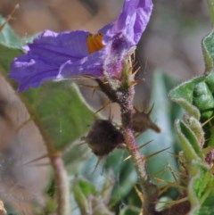Solanum cinereum (Narrawa Burr) at Dryandra St Woodland - 11 Dec 2020 by ConBoekel
