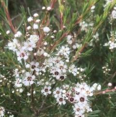 Kunzea ericoides (Burgan) at Gossan Hill - 11 Dec 2020 by goyenjudy