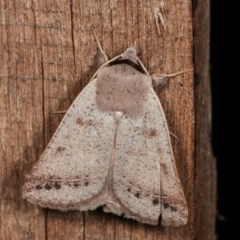 Pantydia sparsa ( A noctuid moth) at Melba, ACT - 16 Nov 2020 by kasiaaus