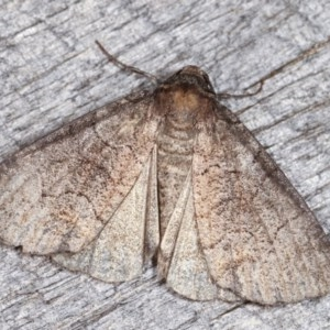 Dysbatus undescribed species at Melba, ACT - 16 Nov 2020