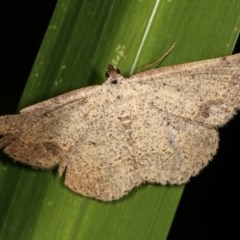 Taxeotis intextata (Looper Moth, Grey Taxeotis) at Melba, ACT - 16 Nov 2020 by kasiaaus