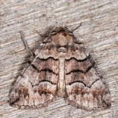 Dysbatus undescribed species (A Line-moth) at Melba, ACT - 16 Nov 2020 by kasiaaus
