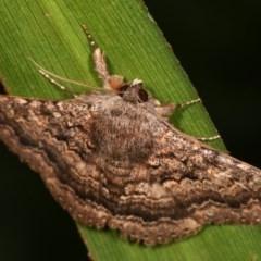 Eudesmeola lawsoni (Lawson's Night Moth) at Melba, ACT - 16 Nov 2020 by kasiaaus