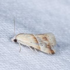 Eublemma inconspicua at Melba, ACT - 16 Nov 2020