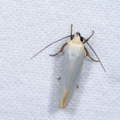 Xylorycta assimilis (A Xyloryctid moth) at Melba, ACT - 16 Nov 2020 by kasiaaus