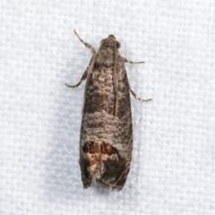Cydia pomonella (Codling Moth) at Melba, ACT - 16 Nov 2020 by kasiaaus