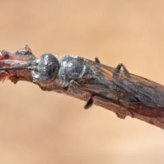 Tiphiidae sp. (family) at Dryandra St Woodland - 11 Dec 2020