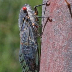 Psaltoda moerens (Redeye Cicada) at Dryandra St Woodland - 11 Dec 2020 by ConBoekel