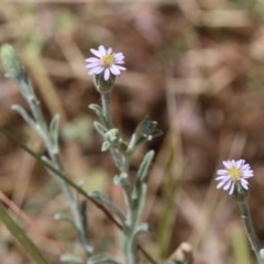 Vittadinia gracilis (New Holland Daisy) at Dryandra St Woodland - 11 Dec 2020 by ConBoekel