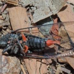 Yoyetta denisoni (Black Firetail Cicada) at Dryandra St Woodland - 11 Dec 2020 by ConBoekel