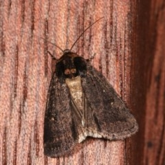 Proteuxoa provisional species 3 at Melba, ACT - 16 Nov 2020 by kasiaaus