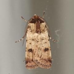 Agrotis porphyricollis (Variable Cutworm) at Melba, ACT - 16 Nov 2020 by kasiaaus