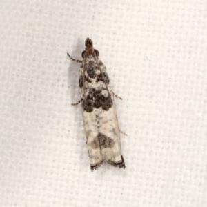 Spilonota constrictana at Melba, ACT - 16 Nov 2020