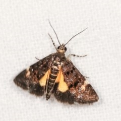 Heliothela ophideresana (A Crambid Moth (Scopariinae)) at Melba, ACT - 16 Nov 2020 by kasiaaus