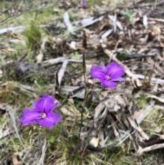 Thysanotus tuberosus subsp. tuberosus (Common Fringe-lily) at Bullen Range - 12 Dec 2020 by Rob1e8