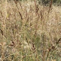Sorghum leiocladum (Wild Sorghum) at Hughes Garran Woodland - 11 Dec 2020 by ruthkerruish
