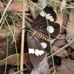 Nyctemera amicus (Senecio or Magpie moth) at Mount Ainslie - 12 Dec 2020 by Ghostbat