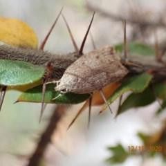 Heliocausta undescribed species (A concealer moth) at Majura, ACT - 12 Dec 2020 by Ghostbat